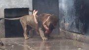 Revelan las razones que llevaron a un joven a arrojarse a la jaula de los leones en Chile