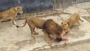 El sábado un hombre saltó a la jaula de los leones en el zoológico de Santiago de Chile.