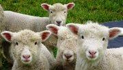 Las ovejas de un pequeño pueblo galés enloquecieron después de comer plantas de marihuana abandonadas.