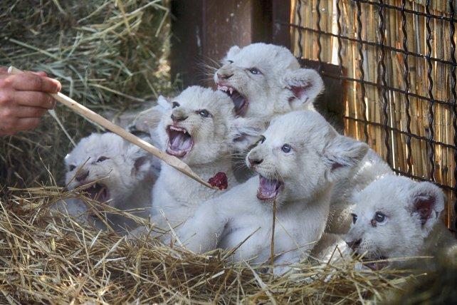 Los pequeños cachorros de león blanco.