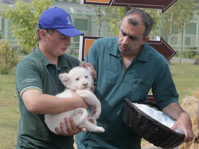 En el zoológico ucraniano cuidan a los pequeños cachorros.
