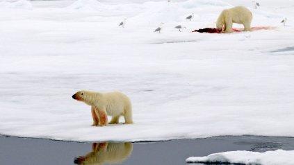 Los osos polares son la especie carnívora más peligrosa del mundo.