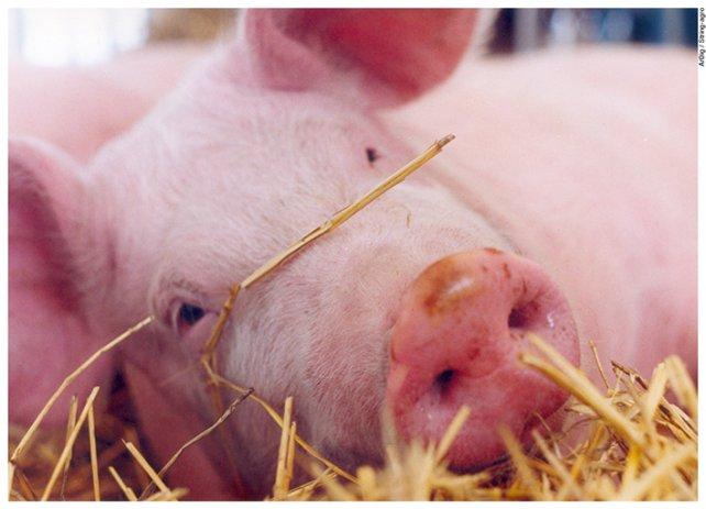 Santa Fe cuestionó decisión de importar carne de cerdo de EEUU